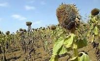 Agricoltura umbra è allarme siccità