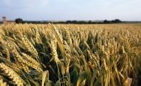 Cereali, crollo dei prezzi. La Cia dell'Umbria lancia l'allarme